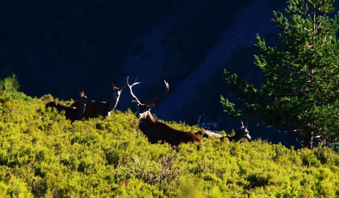 La berrea del ciervo en los montes de Ezcaray