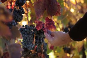 La vendimia en viñedo