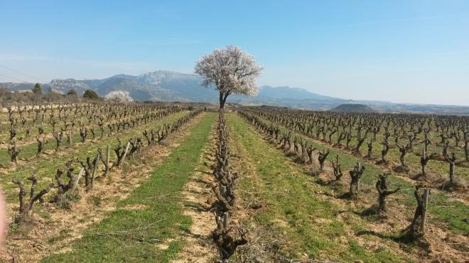 Visita al viñedo en primavera