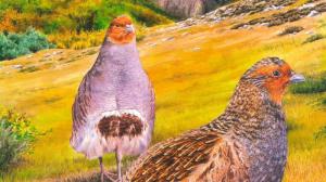 Naturaleza y cultura: la perdiz pardilla