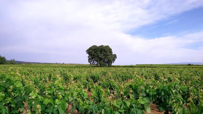 De la flor al envero en el viñedo