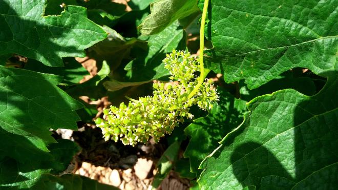Viendo el viñedo nacer