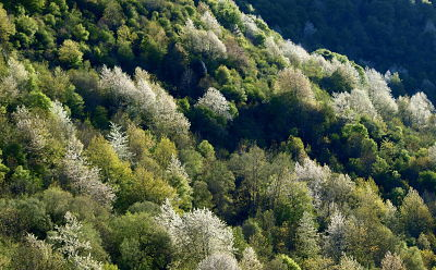 Floración del cerezo silvestre en el valle de Ezcaray